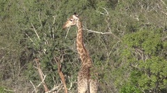 tourists drives past a grazing giraffe at the Hluhluwe-Imfolozi national park  Stock Footage