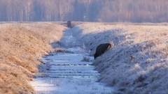 European Bison. Calf slides on ice. Stock Footage