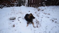 Dog lies on snow in winter and then runs away Stock Footage