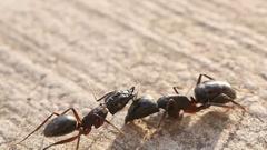 Big black ant. Macro Stock Footage