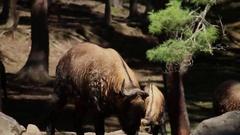 Bhutan Takin Takine animal in a forest free wild Stock Footage
