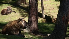 Bhutan Takine Takin animal in a forest wild and free Gnu goat Stock Footage