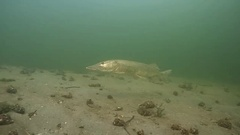 Underwatershot of a big pike (Esox lucius) swimming over the bottom. Stock Footage
