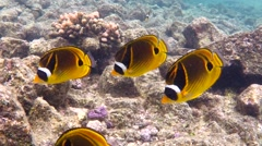 Beautiful Tropical Hawaiian Raccoon Butterflyfish in Shallow Ocean Reef Stock Footage