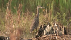 Immature Yellow-crowned Night Heron Bird in Great Dismal Swamp Stock Footage