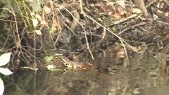 Poisonous Water Moccasin Snake Swimming in Great Dismal Swamp Water Stock Footage