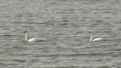 White Trumpeter Swam Pair at Yellowstone National Park Lake Stock Footage