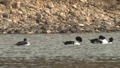 Common Goldeneye Ducks Feeding and Splashing at Yellowstone National Park Stock Footage