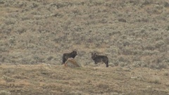 Pair of Black Wolves in Sagebrush Prairie in Wyoming with Raven Flying Over Stock Footage
