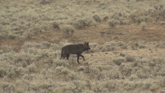 Lone Black Wolf Walking Across a Sagebrush Meadow in Wyoming Stock Footage