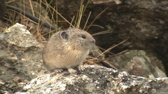 North American Pika Perched on Rock in Rocky Mountains Stock Footage