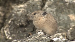 North American Mountain Pika Perched on Rock in Rocky Mountains Stock Footage