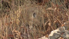 American Pika Foraging in Grass in Fall at Yellowstone National Park Stock Footage