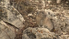 American Mountain Pika Feeding and Foraging in Rocks at Yellowstone Stock Footage