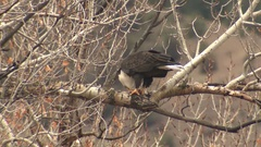 Bald Eagle Feeding on Duck Pulling Feathers in Cottonwood Tree at Yellowstone Stock Footage