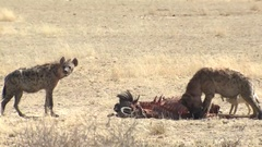 Spotted Hyena Pack and Jackal Feeding on Carcass Kill in Africa Kalahari Stock Footage