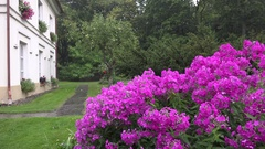 Pink phlox flower bed and heavy rain water drops fall on plant blooms near Stock Footage