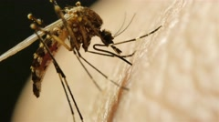 Timelapse of Mosquito sucking blood Stock Footage
