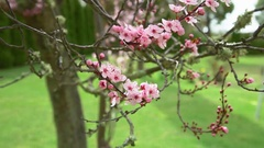 Closeup of Japanese Cherry Blossom flowers blowing in the wind Stock Footage