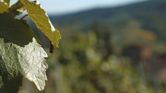 Focus shift from grape vines to Tuscany Hills, Italy Stock Footage