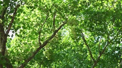 Ginkgo, Maidenhair Tree summer, Lots of fruits Stock Footage