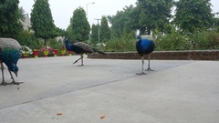 Peacocks in the city Park. India Stock Footage