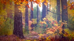 Autumn old forest with rain background, fall. Raining. Stock Footage
