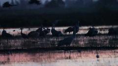Sandhill cranes Stock Footage
