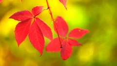Autumn red leaves over beautiful bokeh, fall. Stock Footage