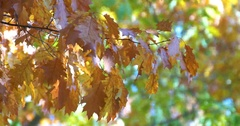 Golden Tree Leaves In Autumn Stock Footage