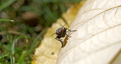 Fly Insect On A Leaf Stock Footage