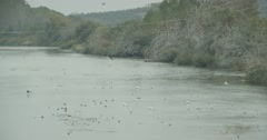 A large flock of migratory birds swim in river in slow motion Stock Footage