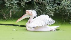 Swimming pelican, dirty water Stock Photos