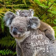Australian koala bear native animal with baby and Happy Australia Day greetin Stock Photos