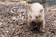 Close-up on an wombat, Australian native animal with G'Day Mate greeting Stock Photos