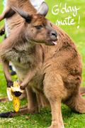 Close-up on a kangaroo eating a banana with a funny face and G'Day Mate greet Stock Photos
