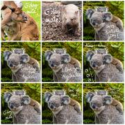 Photo collage of Australian koala bear native animal with baby and various gr Stock Photos