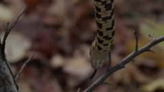Snake hanging in tree branch - autumn leaves Stock Footage
