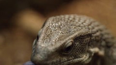 Monitor Lizard slow motion licking lips Stock Footage