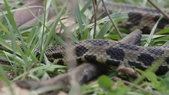 Snake slithering through the grass Stock Footage