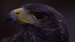 Harris hawk profile side close up Stock Footage