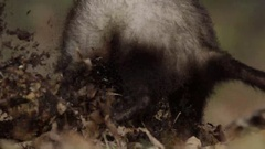 Ferret digging a hole from behind in slow motion Arkistovideo