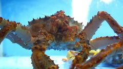 Alive King Crab in Water Closeup Stock Footage