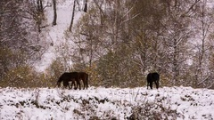 Horses graze on the Alpine slopes of high mountains of the Caucasus Stock Footage