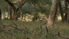 Bengal Tiger (Panthera tigirs tigris) sauntering in dry forest,    scent Stock Footage
