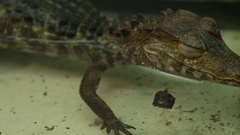 Alligator opening eye in slow motion Stock Footage