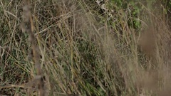 Diamondback snake medium shot pan to body from grass Stock Footage