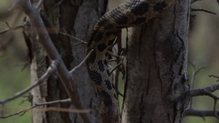Snake hanging in tree branches slow motion Stock Footage