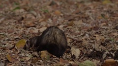 Ferret rodent turning around in autumn leaves - fall colors Stock Footage