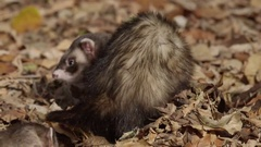 Ferrets pair of rodents in autumn leaves Stock Footage